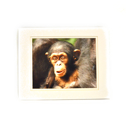A $75 donation gets you a photo of a chimpanzee taken at one of PASA's sanctuaries!