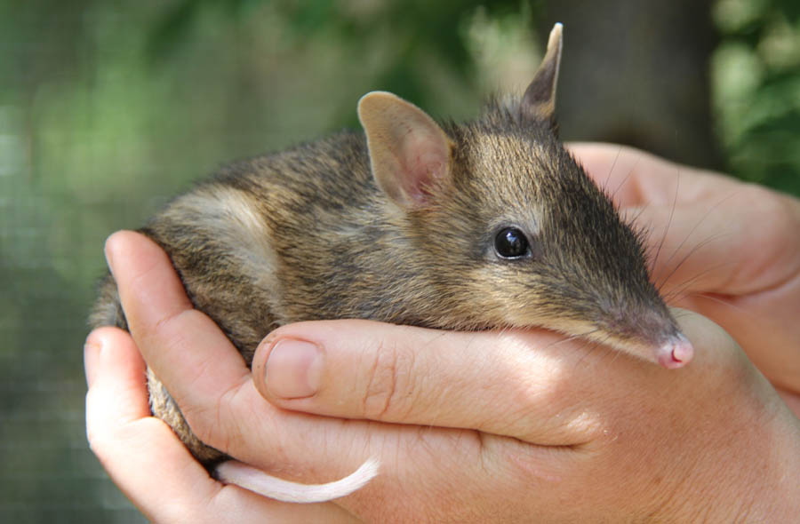 Crowdfunding works for bandicoots, too!