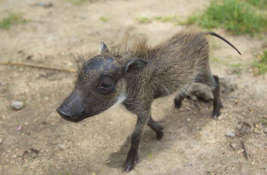 A baby warthog
