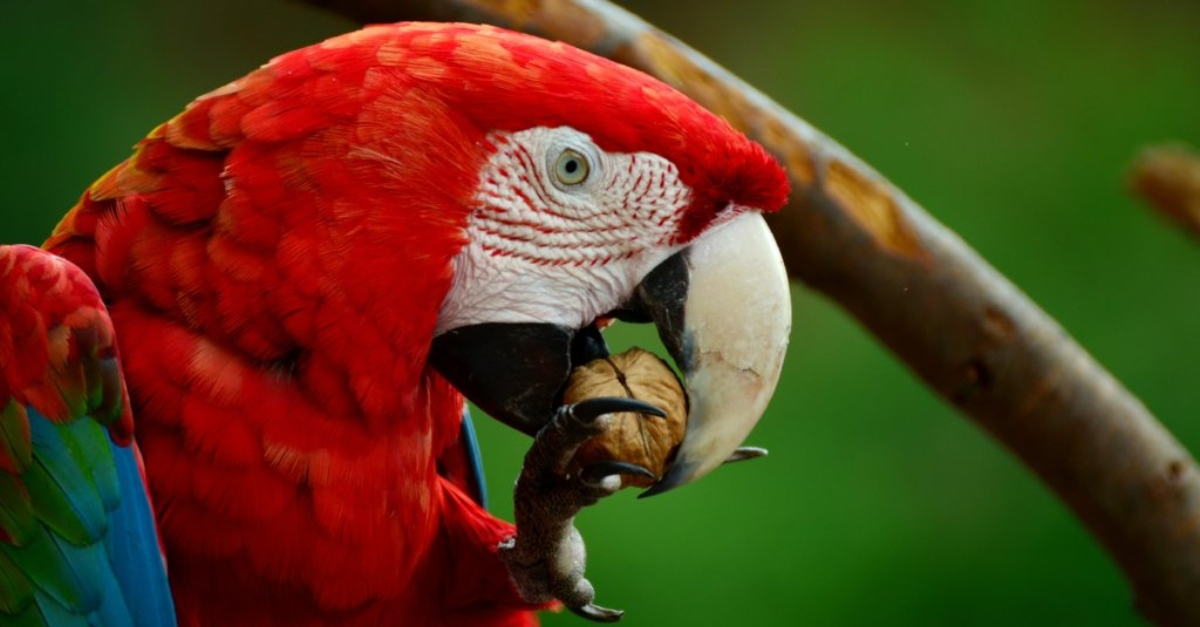 endangered species- a parrot eating a nut
