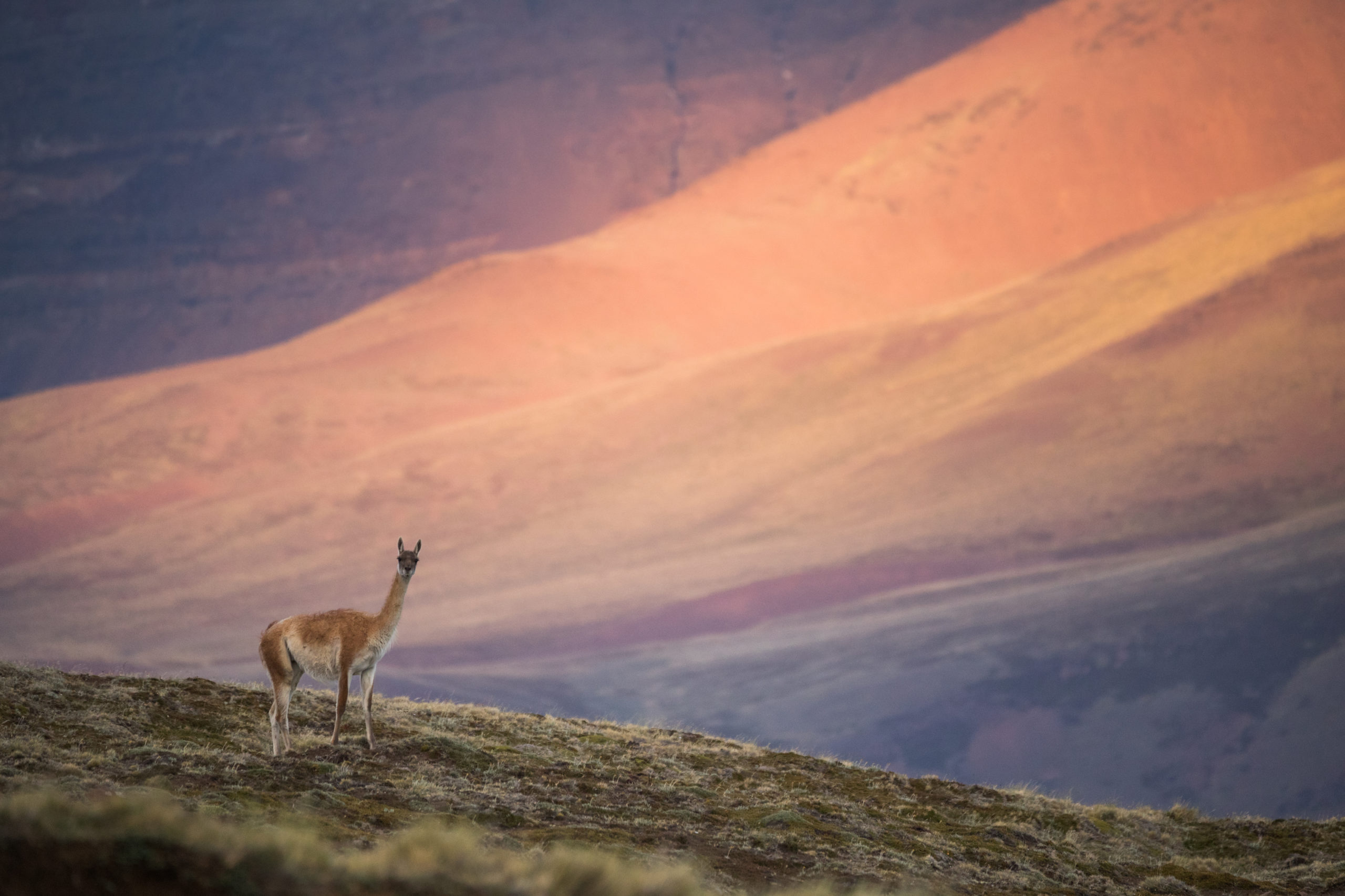 A llama standing on a mountain