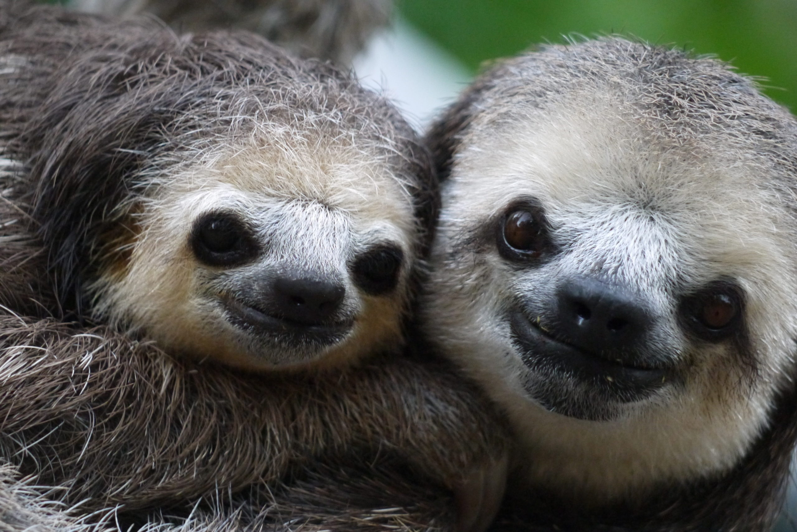 Two sloths hanging in a tree