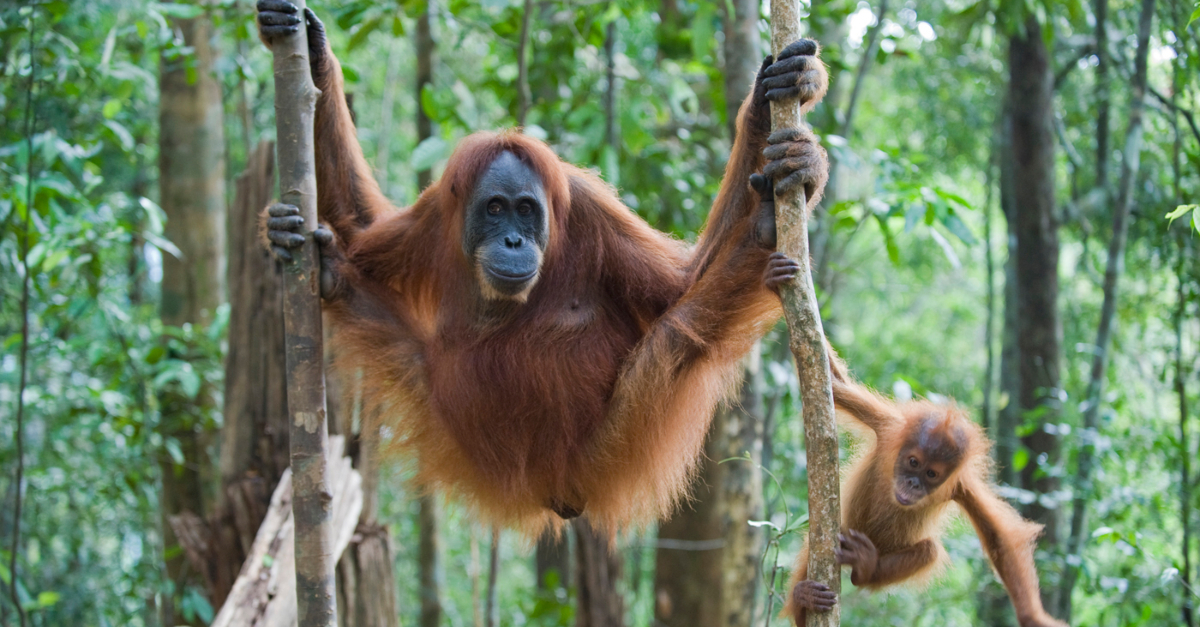 An orangutan hangs from a tree with its baby