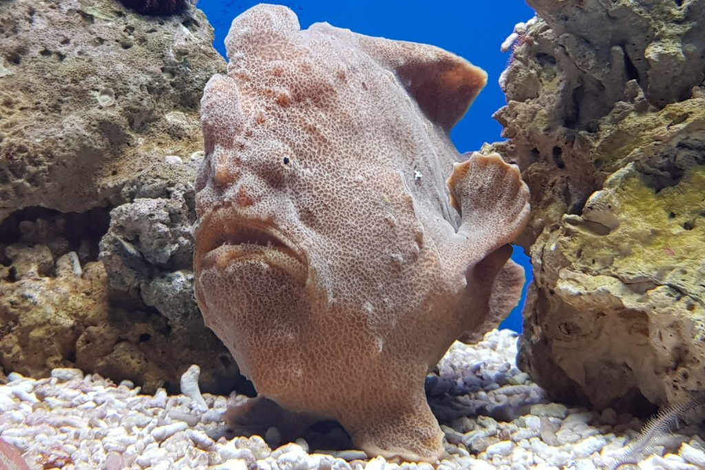 frogfish in a Mediterranean coastal reef