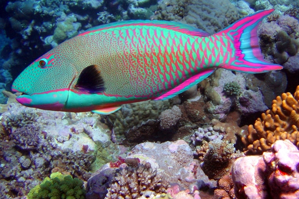 A colorful parrotfish in Mexico's coastal reefs