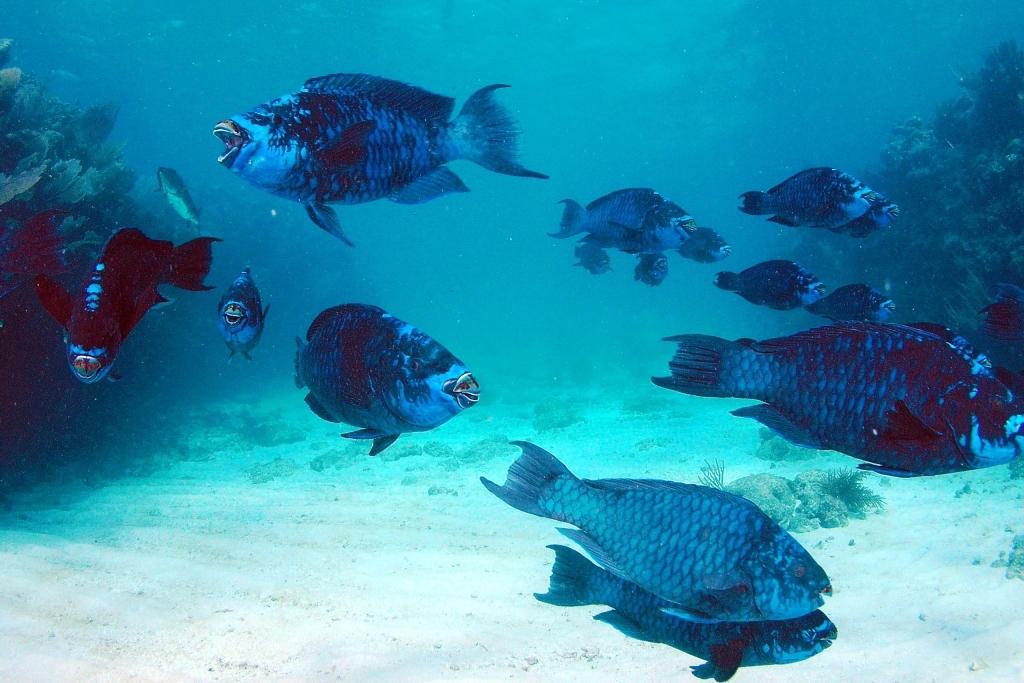 Midnight blue parrotfish in Mexico's coastal reefs