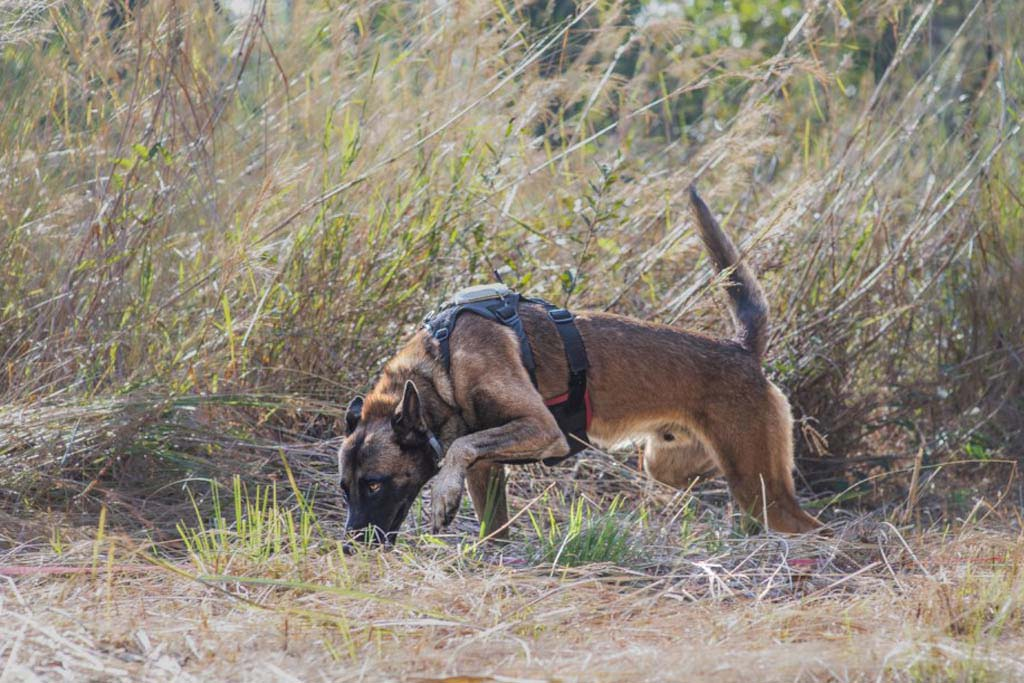 Dog in field with head down and tail up, sniffing for landmines
