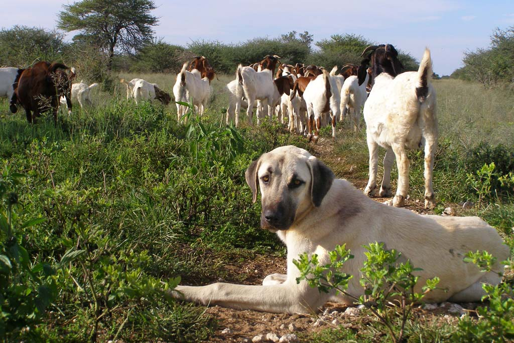 dog lays in field keeping watch over herd of goats. Dogs with jobs protect cheetahs by protecting goats