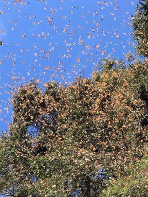 Overwintering monarchs on February 6, 2019