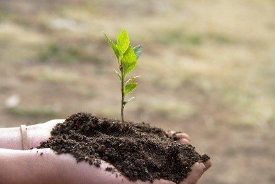 Seedling for planting