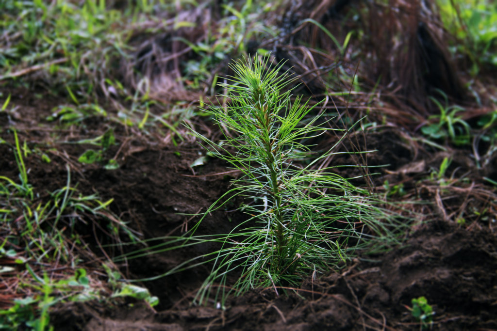 Pine planted in C.Morales indigenous community