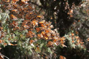 Monarch butterflies sunning on oyamel fir tree