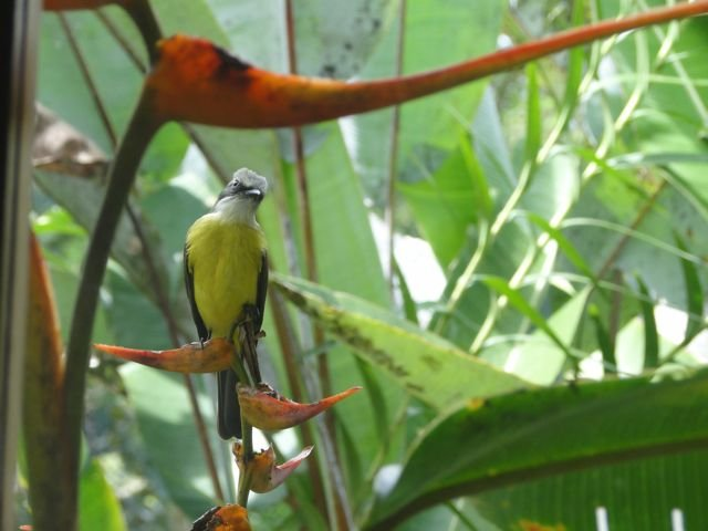 Social Flycatcher in a Heliconia.