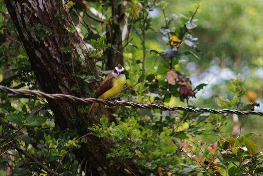 The Great Kiskadee, a big flycatcher in Costa Rica