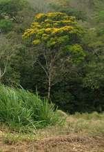 The Barbachele tree, native to Guatuso area