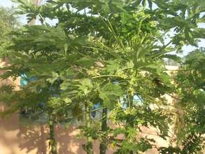 Papaya is rich in sugar and vitamins A and C