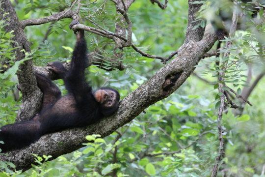 Fongoli chimpanzee