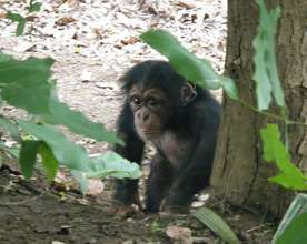 "Orphan chimp Toto take a trip to the ""wild"""
