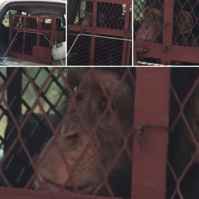 Orphan chimp Toto on his way to Guinea sanctuary
