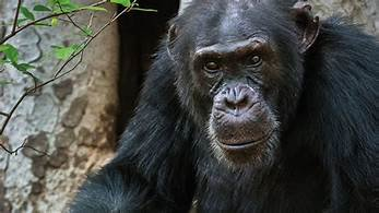 Former Fongoli alpha male David (pic courtesy BBC)