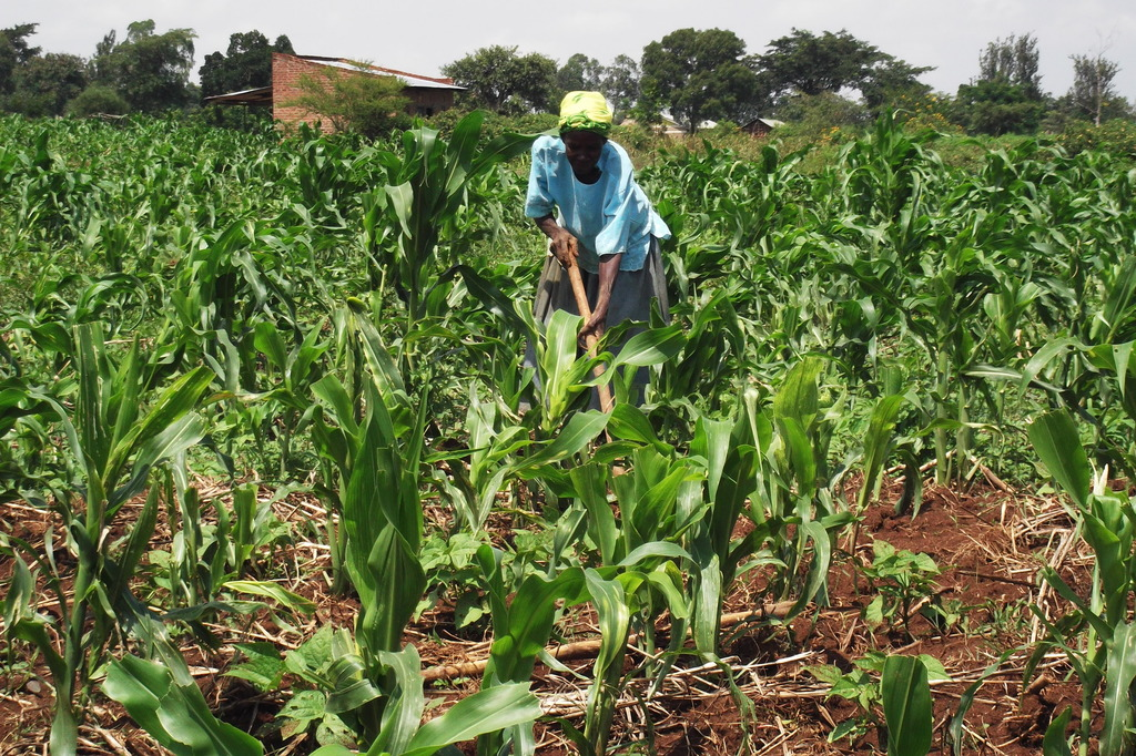 Working with the maize (corn) garden