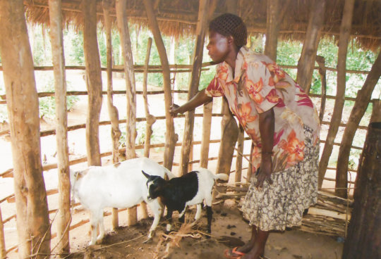 Tending to a dairy goat