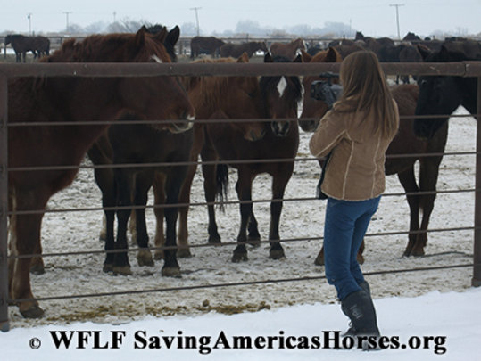 Wild horses in BLM holding