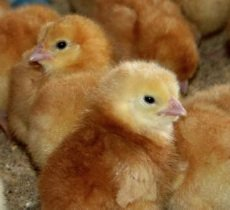 The Sega Girls School Poultry Farm