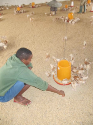 Caring for the chicks