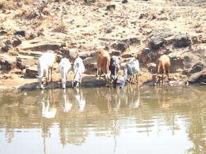 Cattle at the Jhambulpada Check Dam