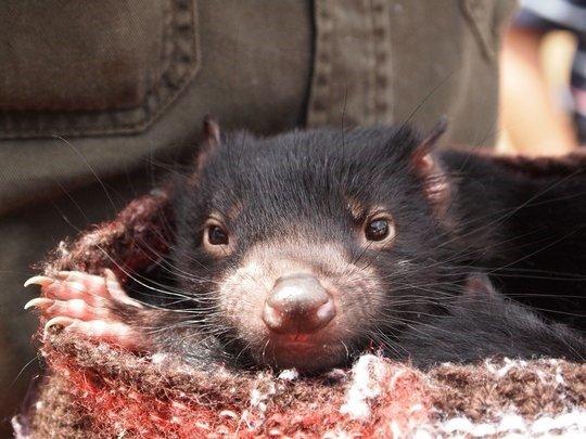 Tasmanian Devil Breeding project