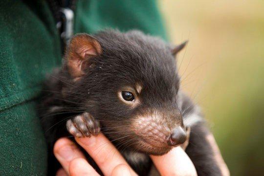Tasmanian Devil successful breeding project