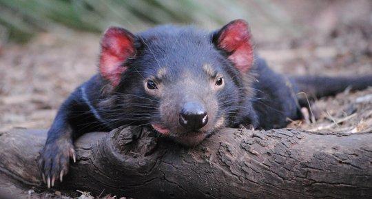 Tasmanian Devil Relaxing!