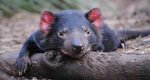 Tasmanian Devil Relaxing!