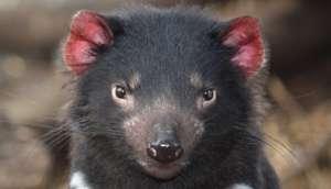 Tasmanian Devil*