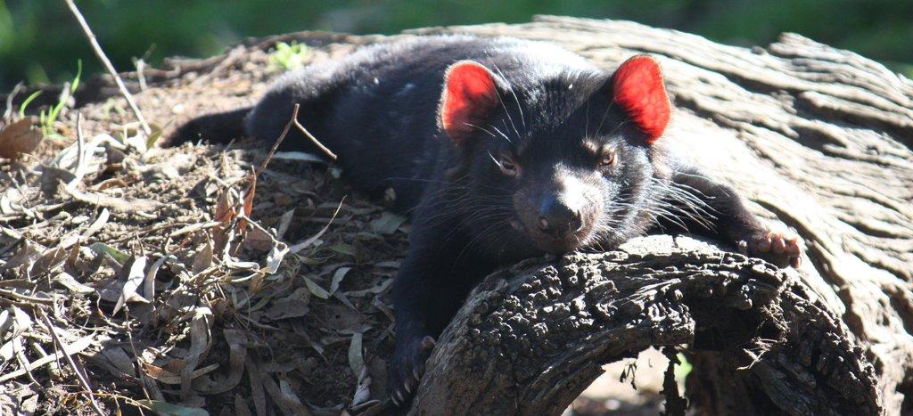 Tasmanian Devil relaxing in the sun