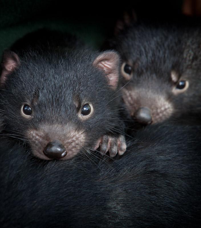 help save the tasmanian devil   globalgiving