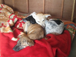 Asha napping atop her friends Dosti and Cookie