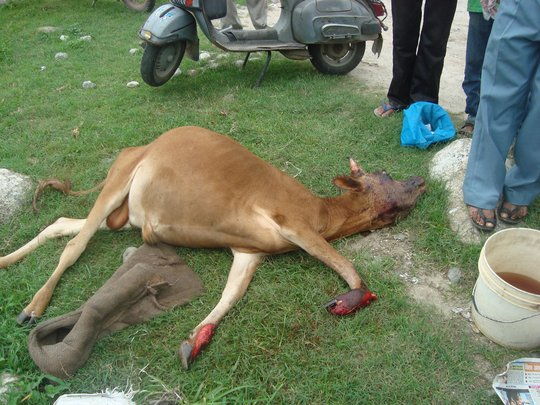 Calf hit by bus