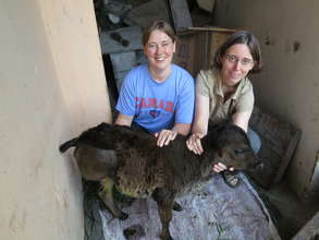 Volunteer Vets and Calf