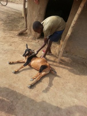 david taking care goats