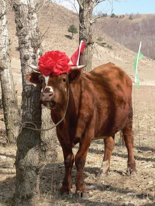 Cow ready for new family