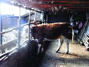 Gift breeding cattle