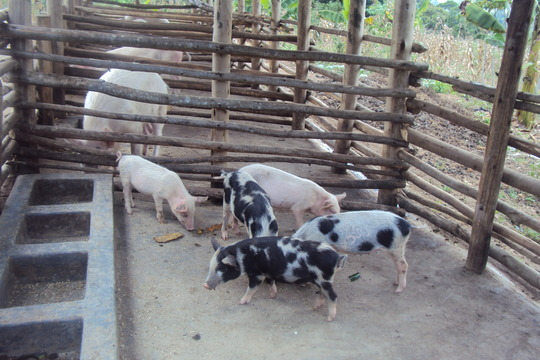 piglets given to the Mobile young farmers group