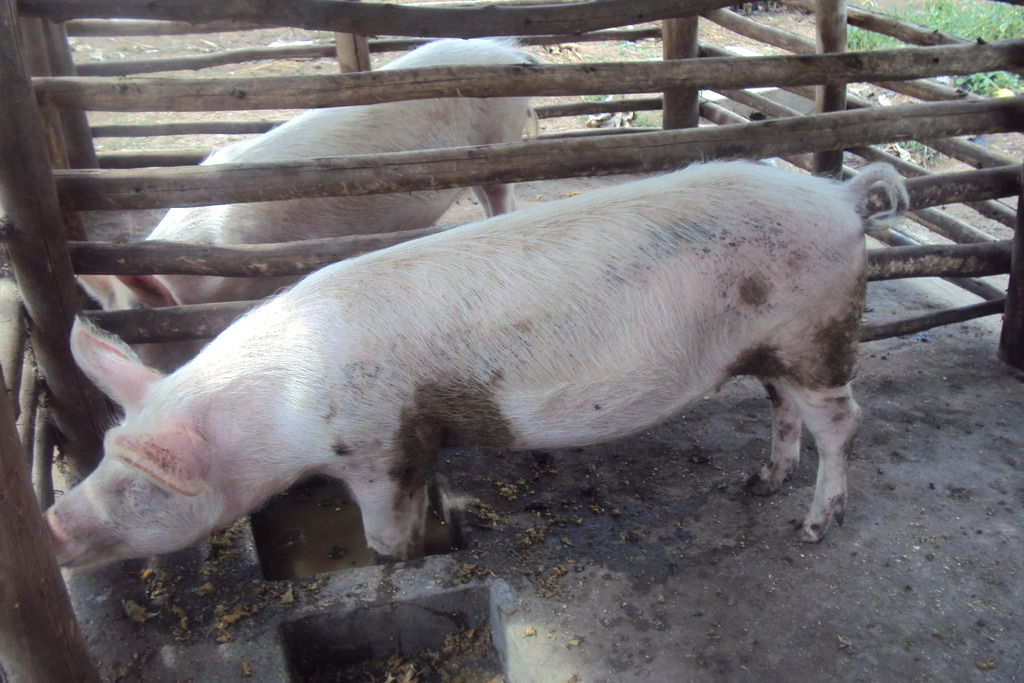piglets given to the group members