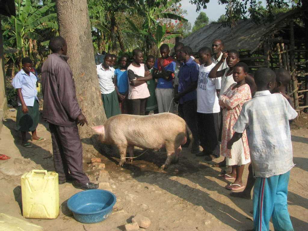 Distribution of pigs to Peer Support Groups