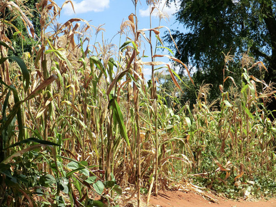 Poor maize crop due to lack of rain