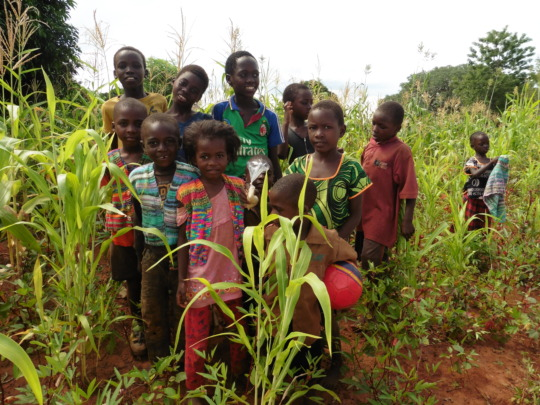 Maize growing in Kamwi Village