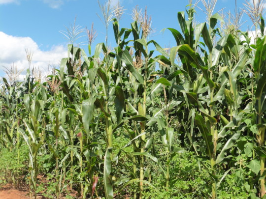 Maize, the staple diet of Zambians