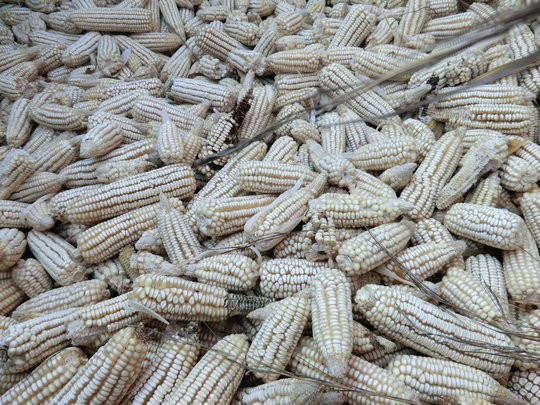 Dried Maize